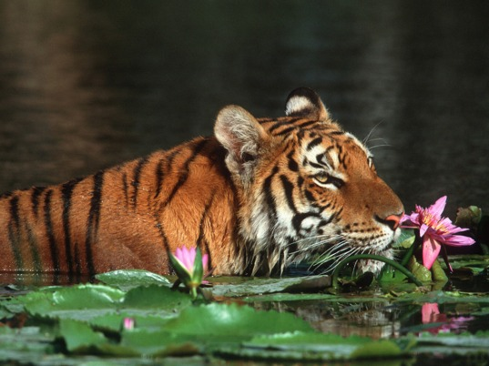 The-royal-bengal-tiger-bangladesh-9418428-1024-768
